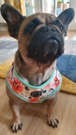 2 year old french Bulldog Female