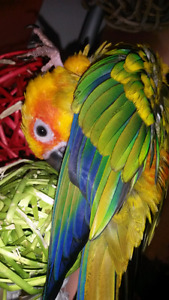 Talking Tame 2 years old Female Sun Conure named Sammy