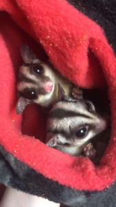 Three Sugar Gliders in need of a good home