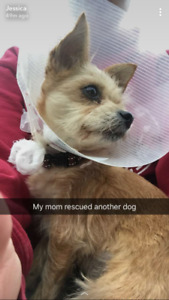MISSING 8 year old chihuahua Yorkie mix in Parkridge!