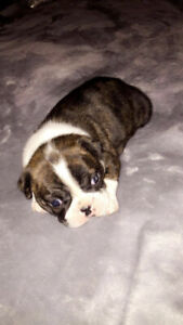 Gorgeous Boston Terrier Puppies ~ ONLY 1 LEFT