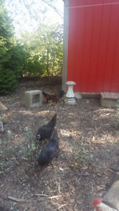 Roosters Free