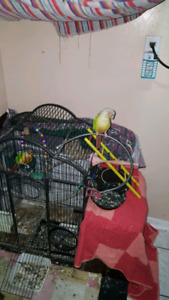 Yellow cider conures