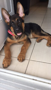 Berger Allemand Male Pure Race