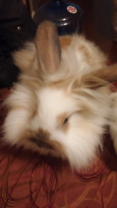 Lion head cross with holland lop bunny rabbit