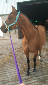 Dun Quarter Horse Mare for Sale