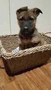 Purebred German Shepherd Puppies London Ontario image 4