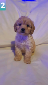Stunning cockerpoo puppies