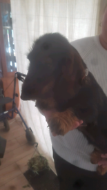 Miniature dachshunds boy pup