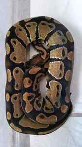 Ball Python: Female Normal. London Ontario image 1