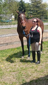 7 year old TB Mare for sale/trade Stratford Kitchener Area image 3