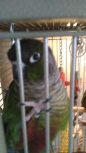 Two Green Cheek Conures with large cage $900
