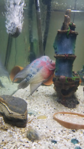 Flowerhorn   Kijiji in Ontario  - Buy, Sell & Save with Canada's #1