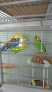 Bonded Budgie Pair + Cage, Food, Toys, Accessories