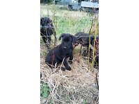 Black Labradors for sale