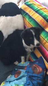 Beautiful male border collie looking for forever home