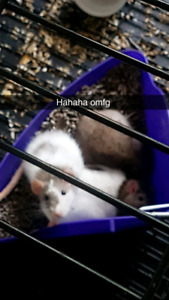 3 female rats