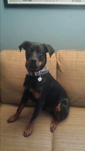 Males 14 month old Rottweiler