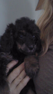 MINI / TOY POODLE PUPPIES