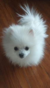 Amazing cute and friendly Pomeranian teacup
