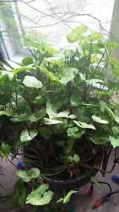 Butterfly Plant for sale