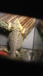 Bearded dragons looking for new home