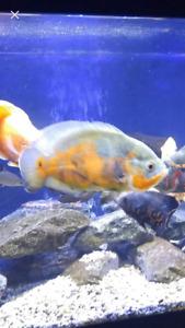 Oscar  poisson d'eau douce