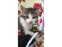 One remaining tabby kitten
