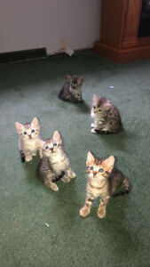 Savannah kittens 3 out of 5 left