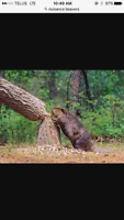 Nuisance beaver removal