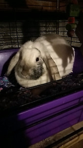 Thunder the lop