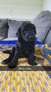 F1B LABRADOODLES *only 2 left*