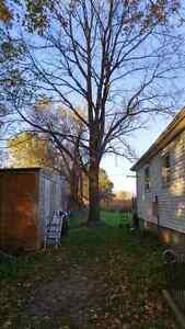 Free Walnut Trees London Ontario image 1