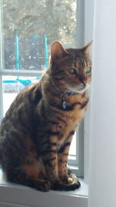 CHAT MALE BENGAL OPERE DEGRIFFE AUX 4 PATTES