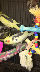 Very cute and friendly Coktiel birds for sale