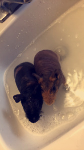 Two skinny pigs for adoption