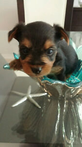 Yorkshire puppies/Chiots Yorksire(Yorkie)