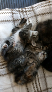 4 Domestic Short Hair Kittens