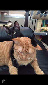 Ginger tabby and black siamese