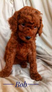 goldendoodle (mini) poodle