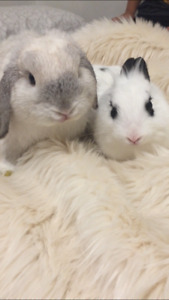Bonded pair of 1 yr Neutered Male and Unspayed Female bunnies