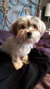 """""""Oscar"""" male Morkie for sale, looking for his forever home"""