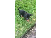 Gorgeous black and tan Jack Russel's