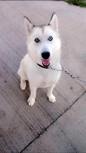 Male Siberian Husky for Rehoming