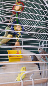 Budgies with cage, toys, dishes, etc.