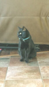 pure black cat, fixed,well behaved,to a loving home