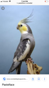 Looking for pastelface or dominant yellowcheek cockatiel