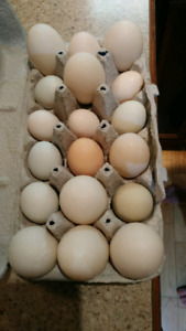 Farm fresh chicken eggs.
