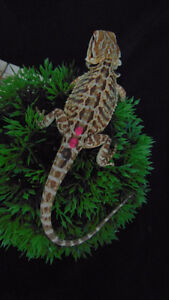 !!SALE!!!  Red and Het Witblits Leather Bearded Dragons