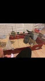 Rabbit for sale £50